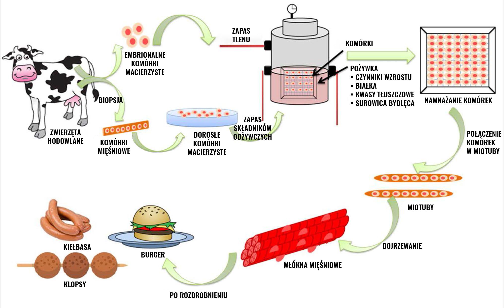 Proces powstawania mięsa in vitro
